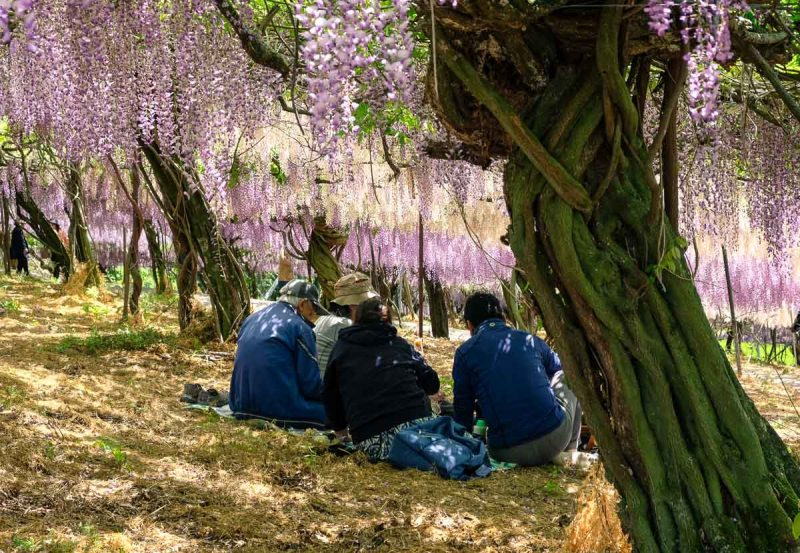 People sitting on the ground under the Wisteria tunnel at Senzai Park, Oita